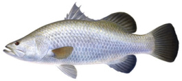 Barramundi - fresh frozen Fillets