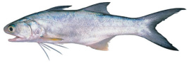 Blue Threadfin - fresh frozen Fillets